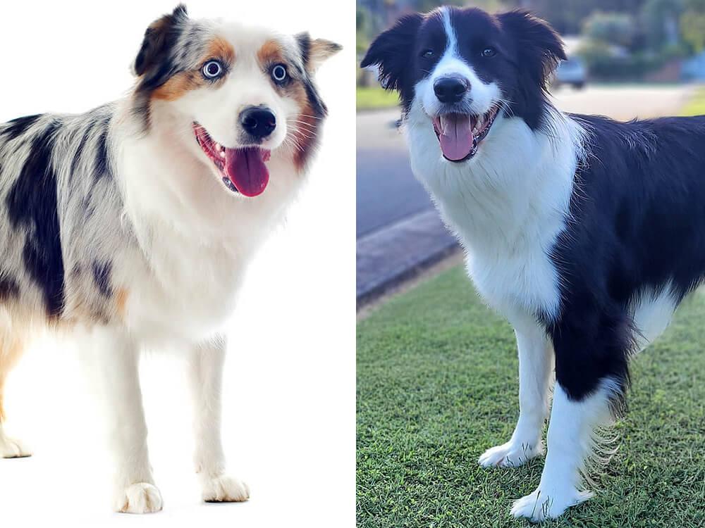 australian shepherd vs border collie 2