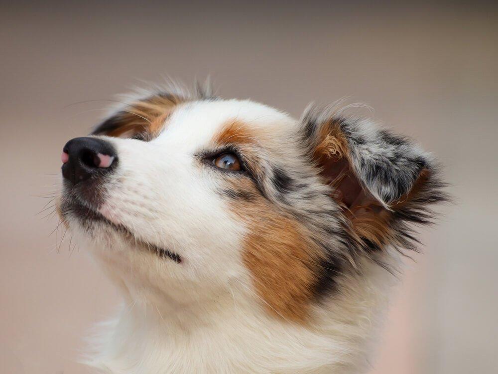 How to Prevent Australian Shepherd from Herding People