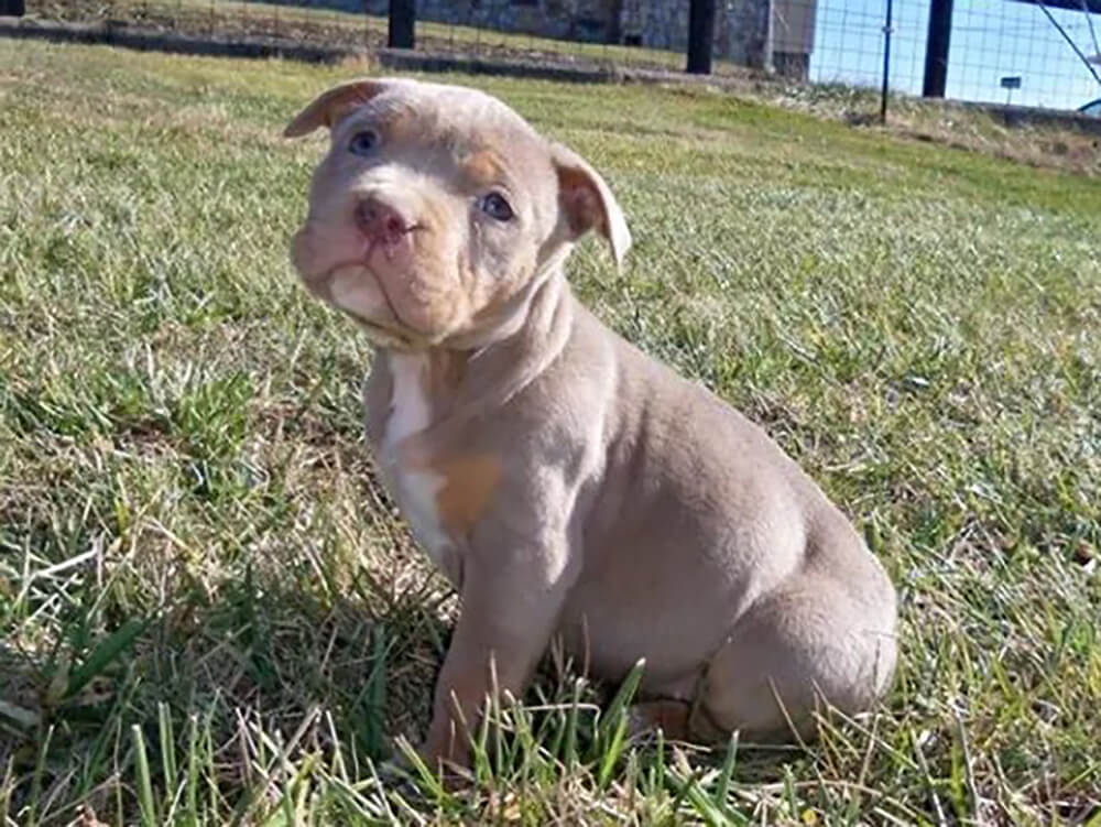 is an american bully an aggressive breed 7