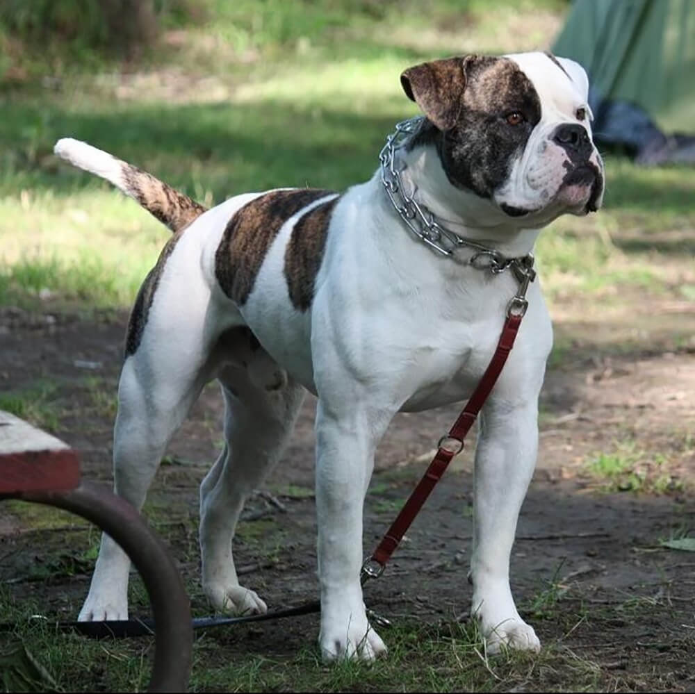 is an american bully an aggressive breed 8