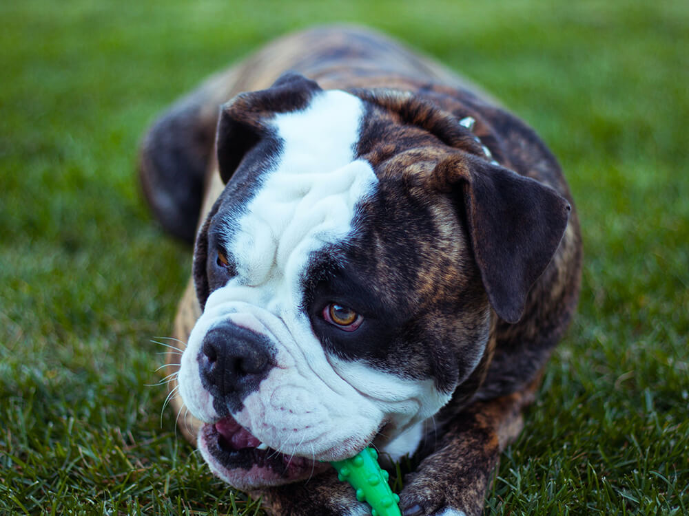 Short-Lived Lives of English Bulldogs