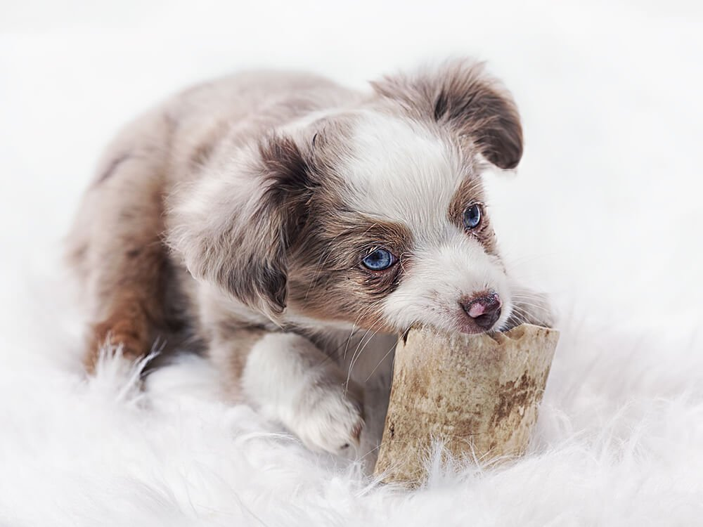 What Should You Do When Crate Training an Australian Shepherd Puppy