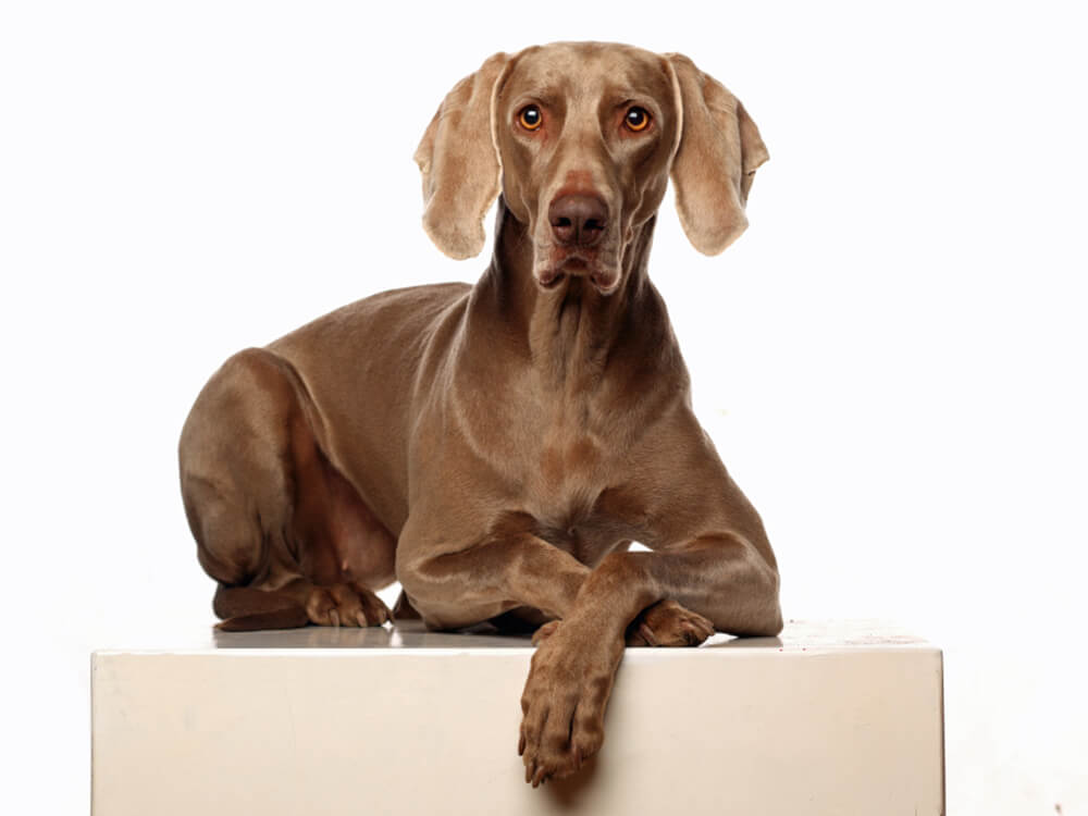 Why Are Weimaraners So Clingy