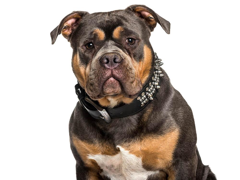is an american bully a pitbull 3