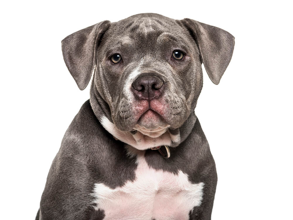 is an american bully a pitbull 4
