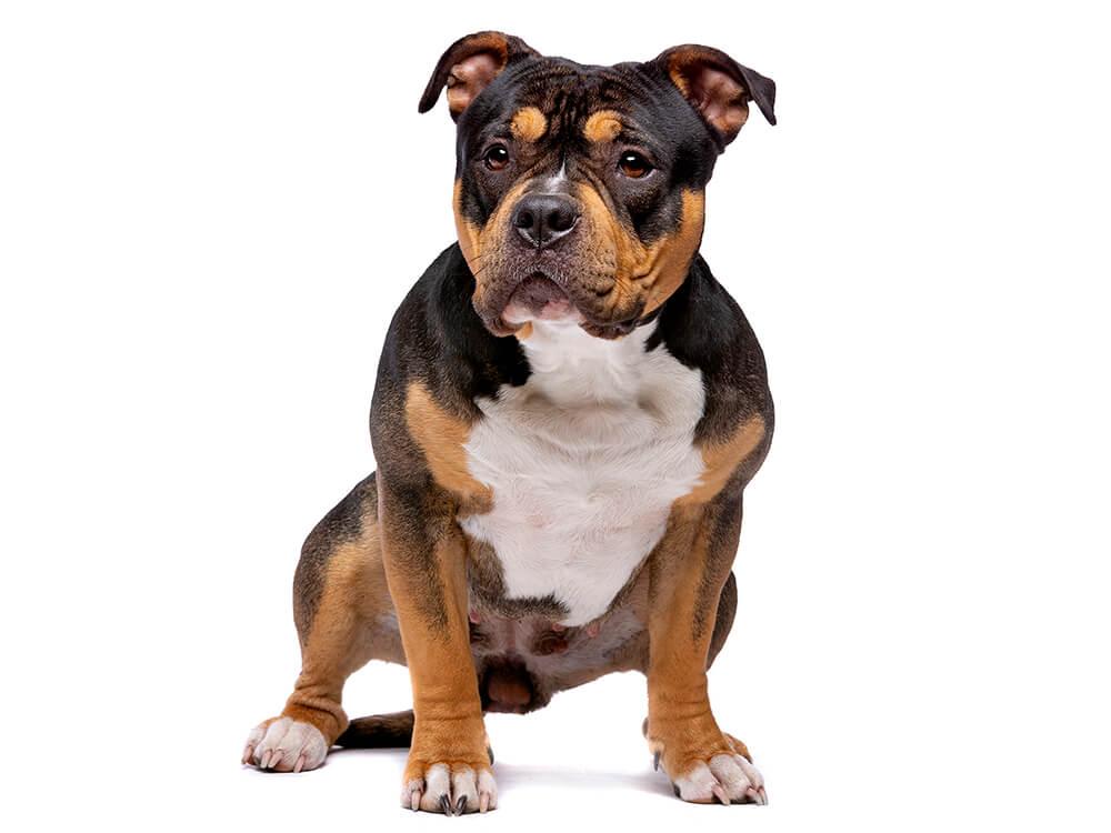is an american bully a pitbull 5