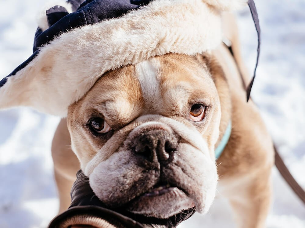are english bulldogs hard to take care of 1