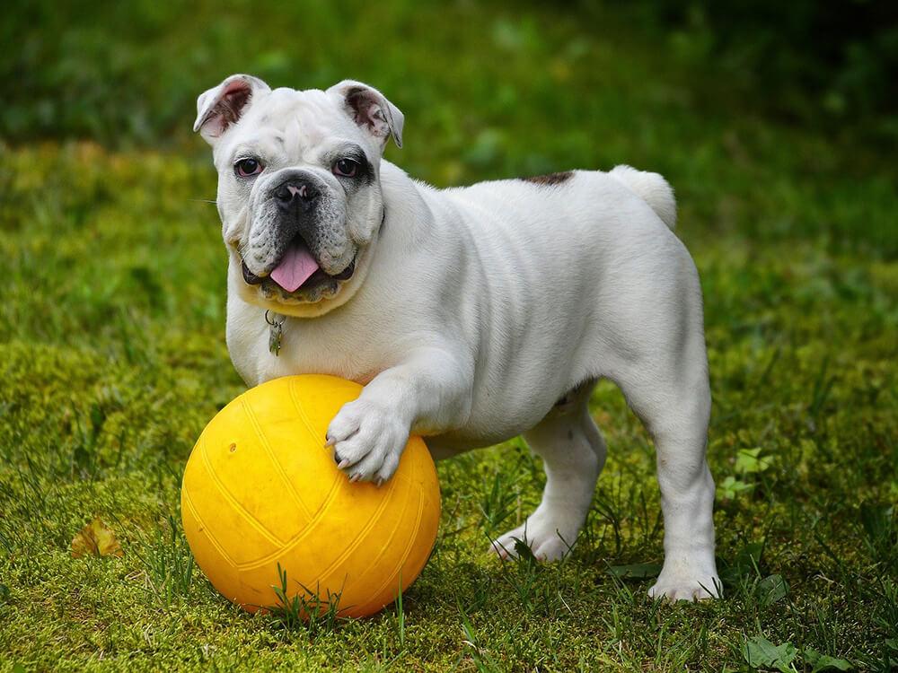 are english bulldogs hard to take care of 3