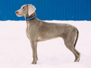 Are Weimaraners Good Family Dogs?