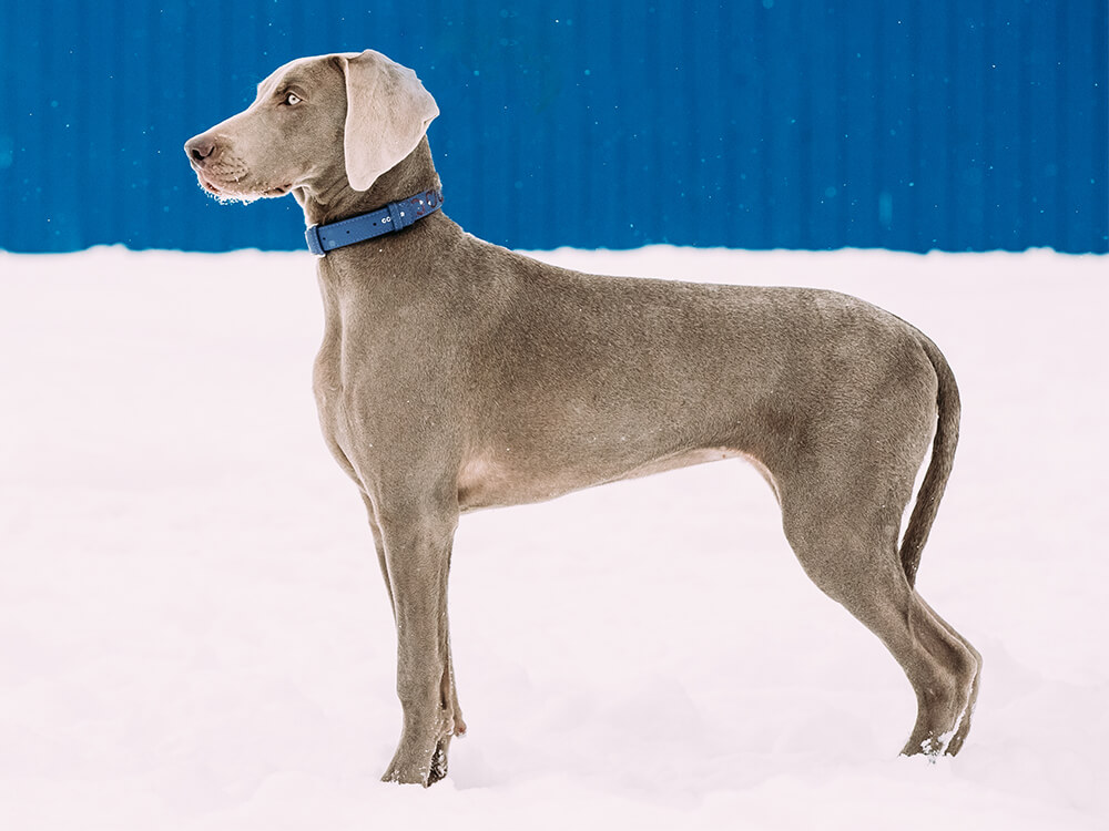 are weimaraners good family dogs 3