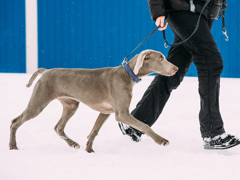 are weimaraners good family dogs