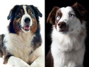 Australian Shepherd vs. American Shepherd