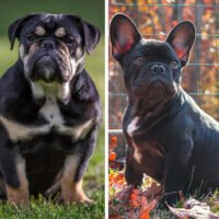 English Bulldog vs French Bulldog: Which One Is for You?