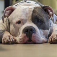 How Many Types of American Bullies Are There?