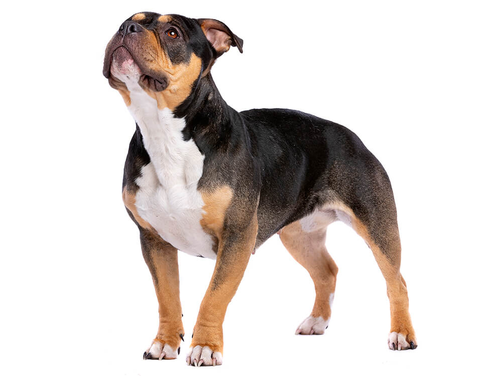 how much does an american bully cost 2