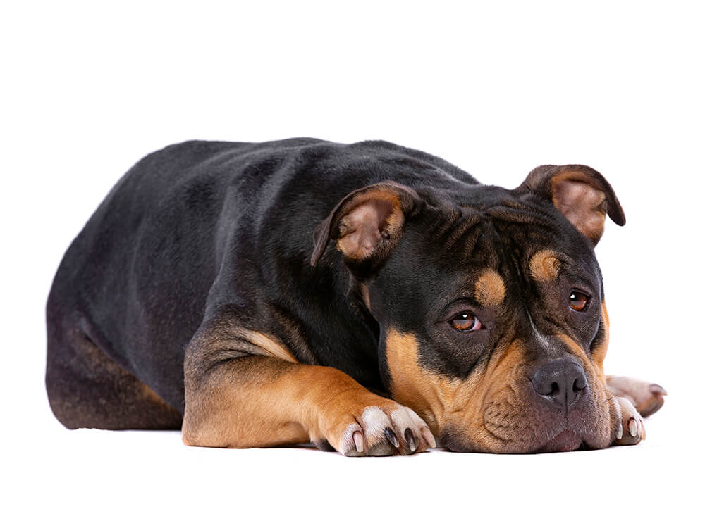 how much does an american bully cost 3