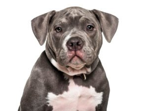 How Much Does an American Bully Cost?