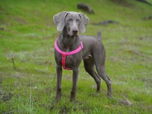 How to Exercise Your Weimaraner