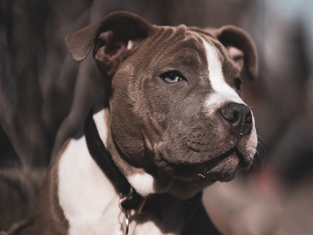 is an american bully a good family dog 1