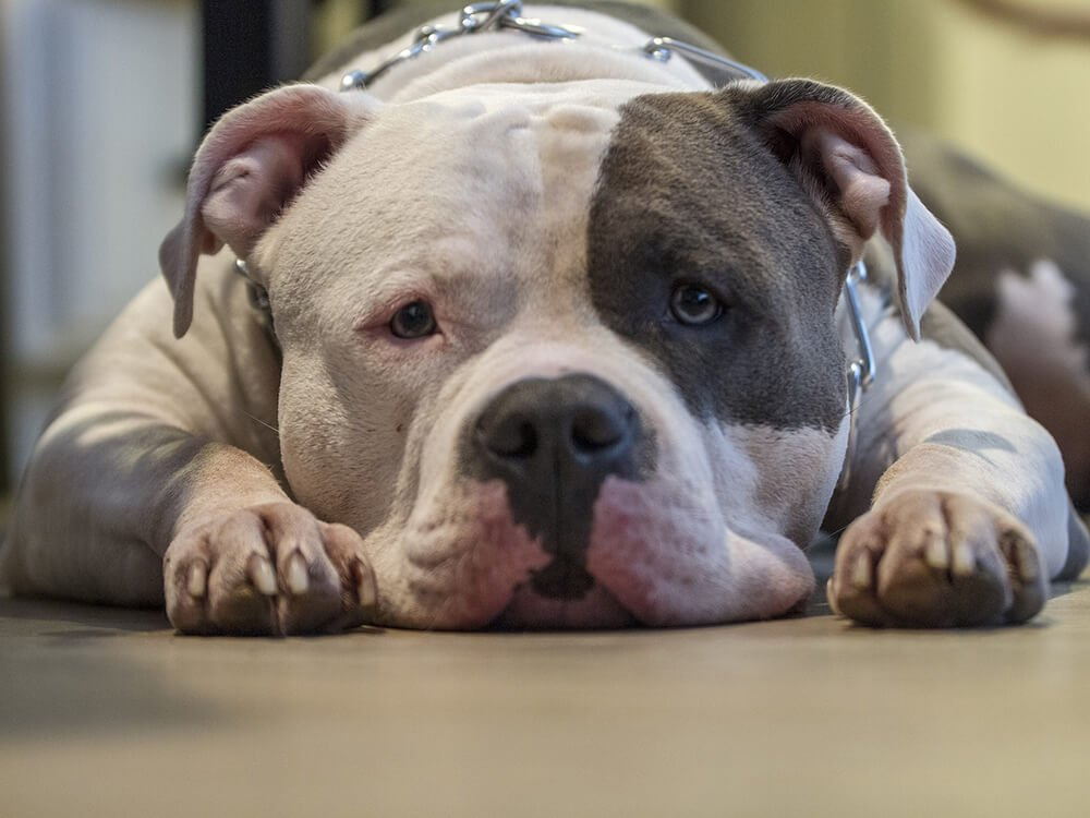 is an american bully a good family dog 4