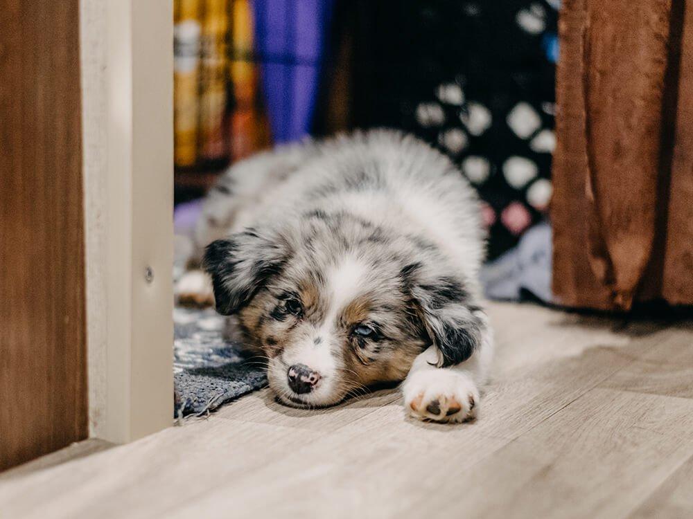 Is an Australian Shepherd a Good Family Dog?