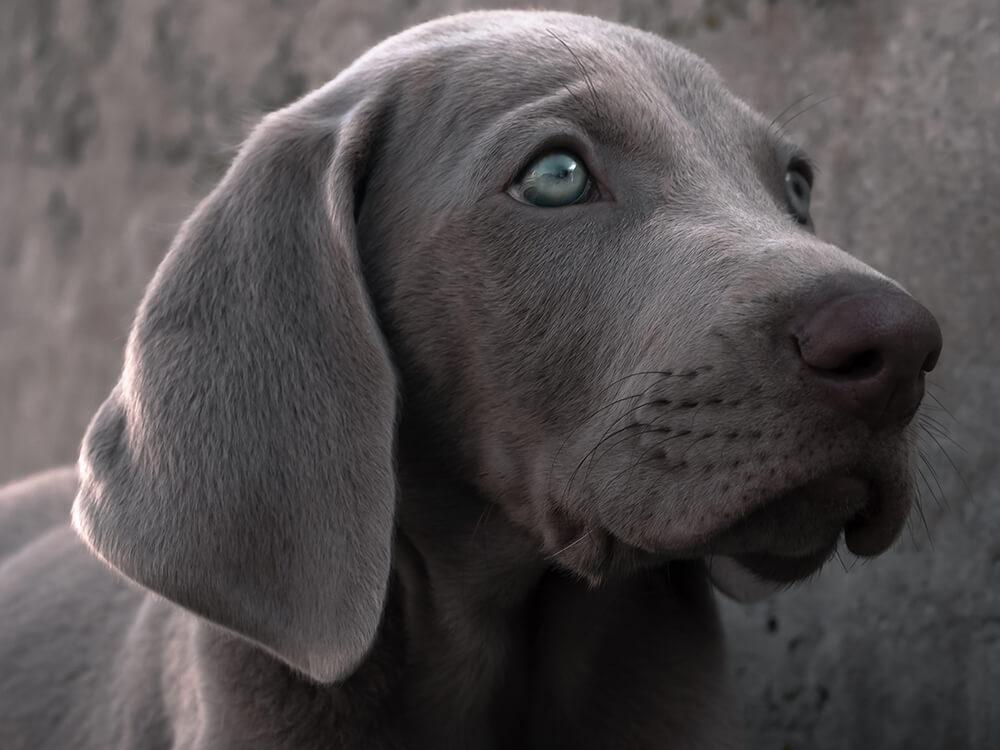 silver Labrador 2