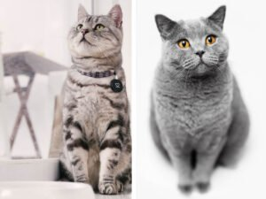 American Shorthair vs British Shorthair: Differences and Similarities
