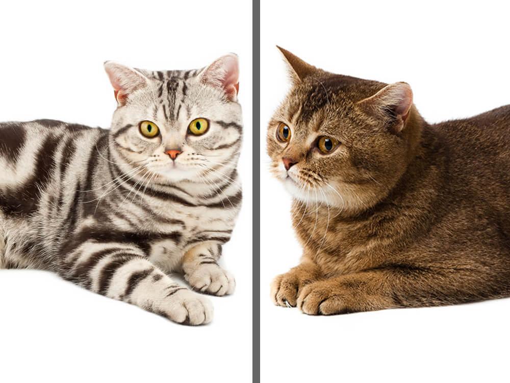 american shorthair vs british shorthair
