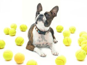 Are Boston Terrier Good Pets?