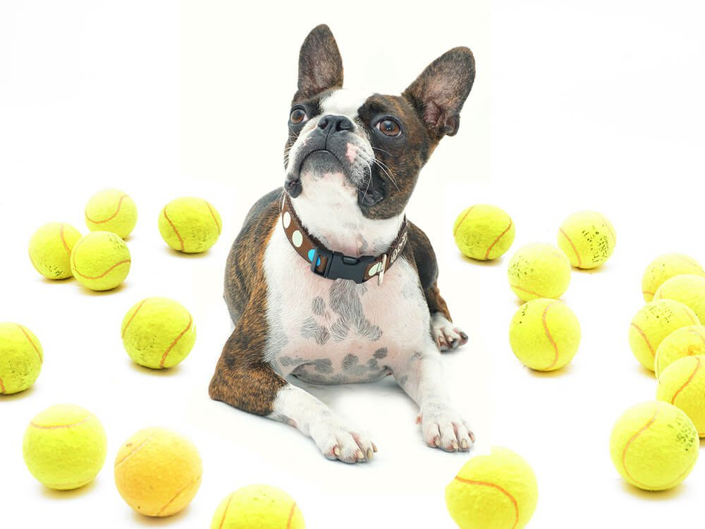 are boston terriers good pets 2