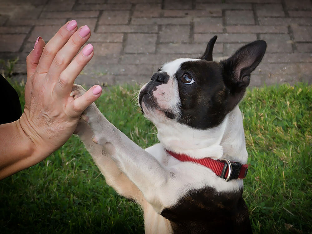 are boston terriers good pets 5