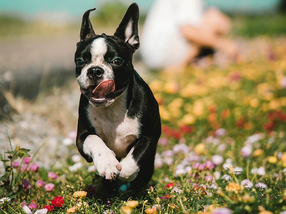 are boston terriers good pets