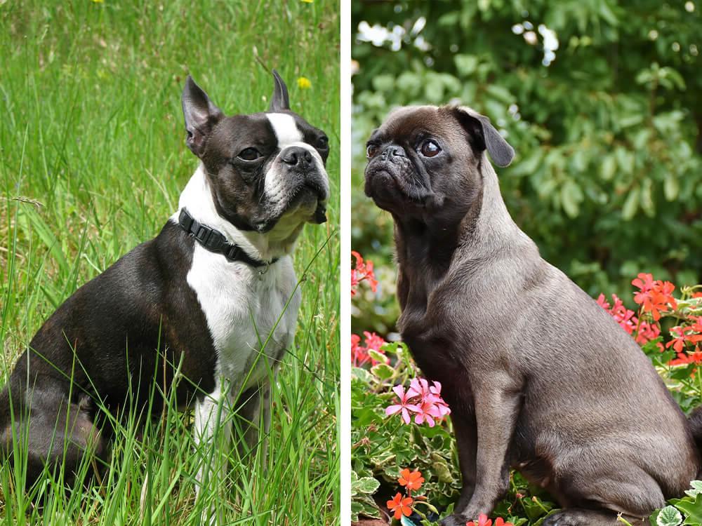 boston terrier vs pug 1
