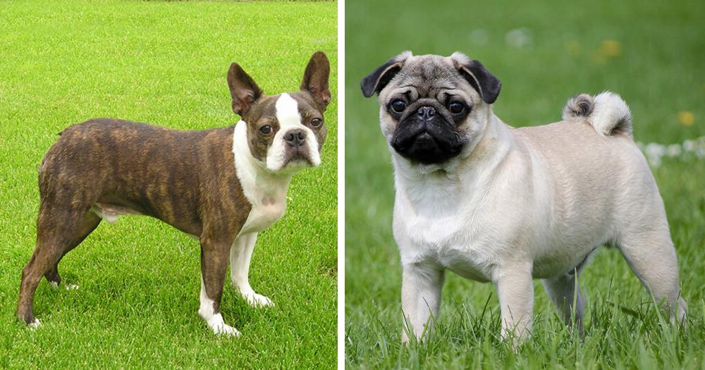 boston terrier vs pug 2