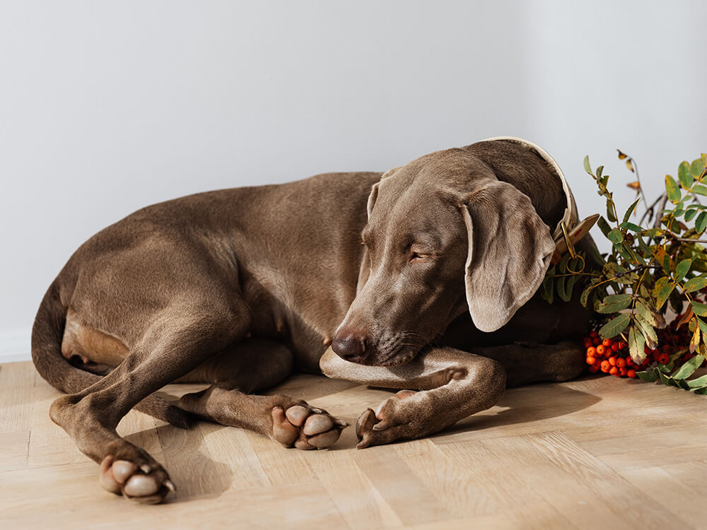 caring for a Weimaraner 1