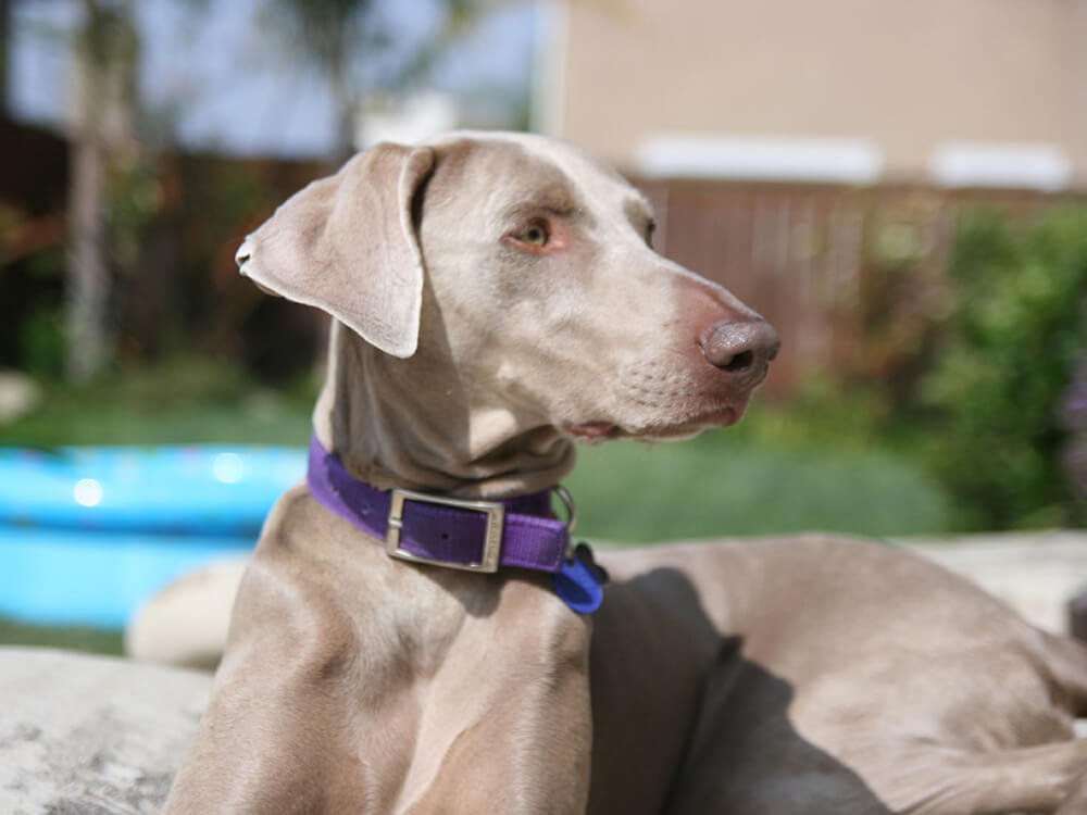 caring for a Weimaraner 3
