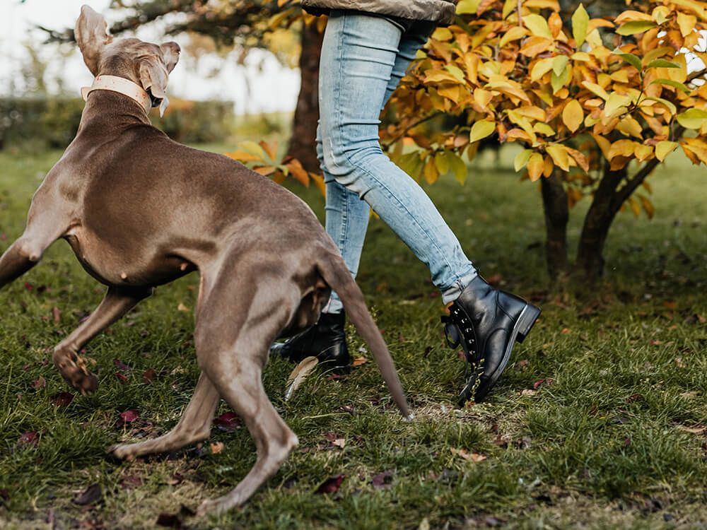 caring for a Weimaraner