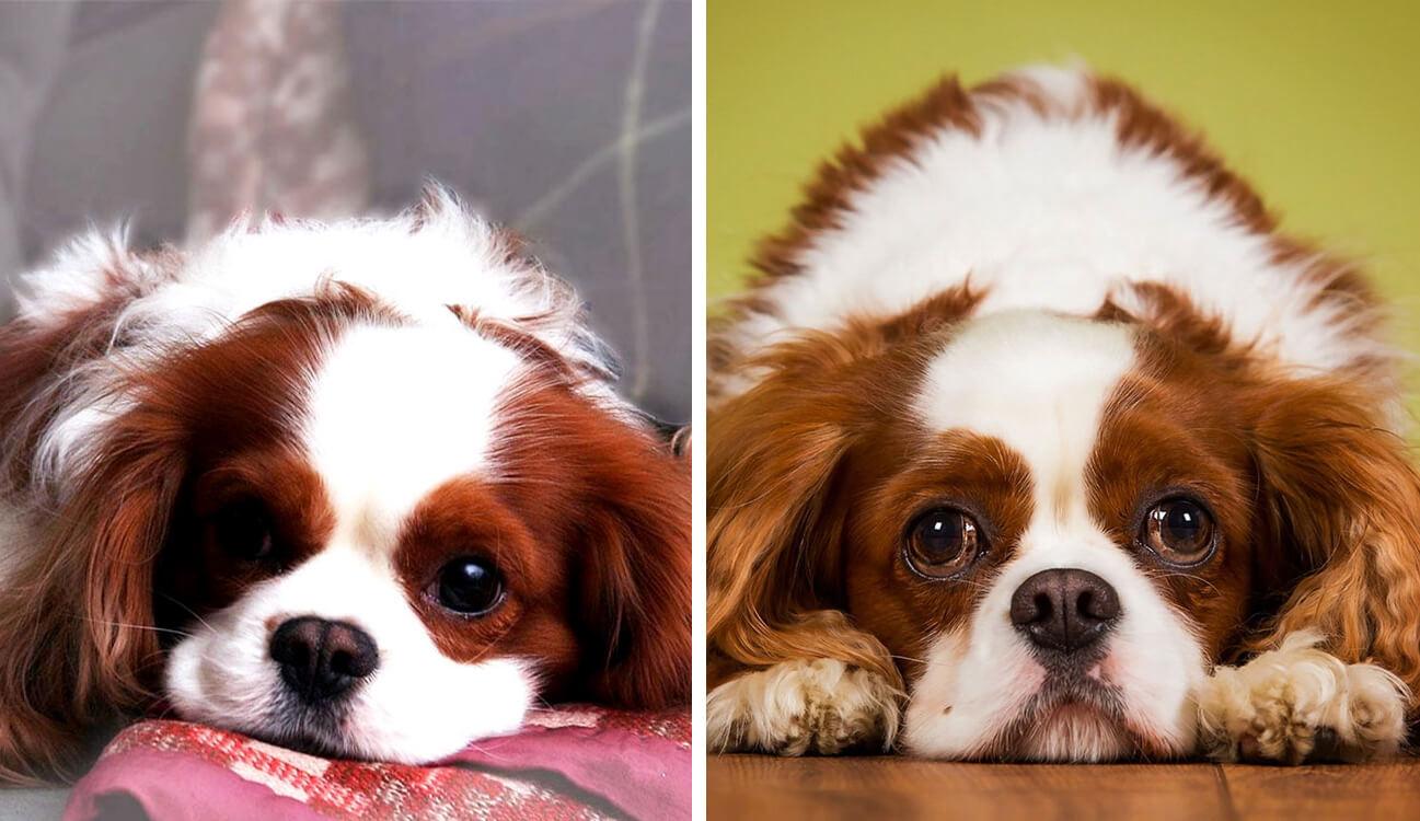 cavalier king charles spaniel vs king charles spaniel 2