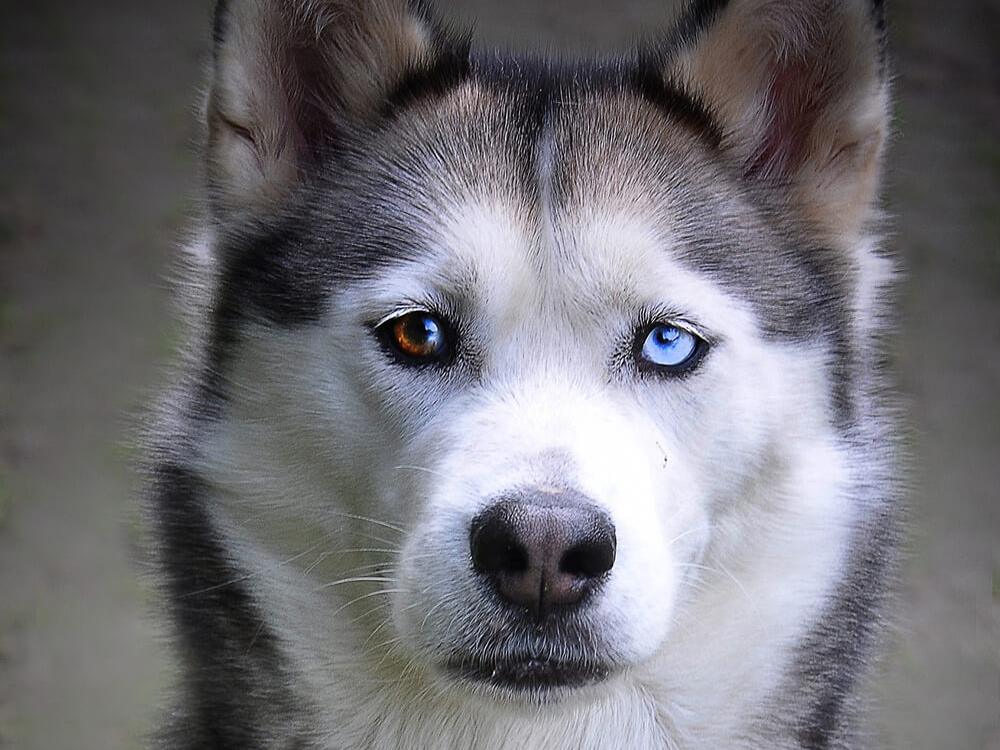 What Are the Causes behind Dogs with Blue Eyes?