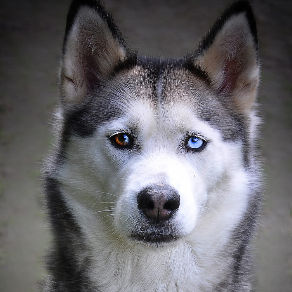 dogs with blue eyes 1