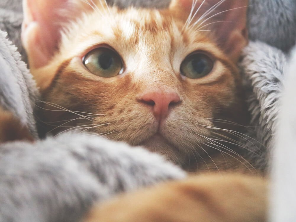 heart murmur in cats 1