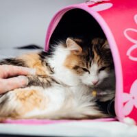 Everything You Need to Know about Heart Murmur in Cats