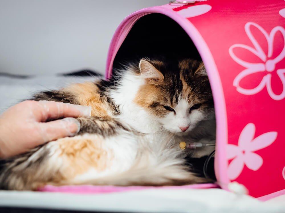heart murmur in cats 2