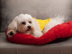 How to Care for a Maltese Dog
