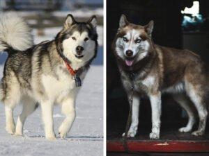 Malamute vs Husky: So Similar yet So Different