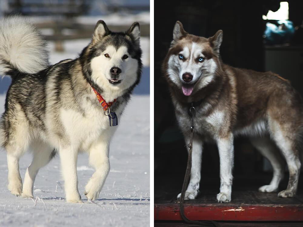 malamute vs husky 1