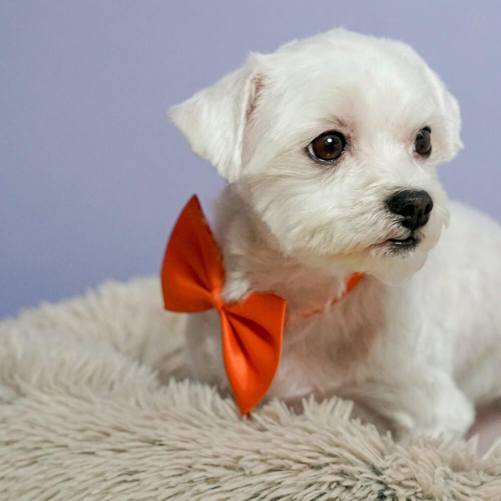 maltese dog 1