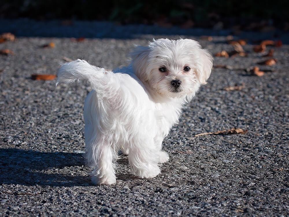 maltese dog 2