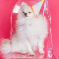 9 Fascinating White Pomeranian Fun Facts