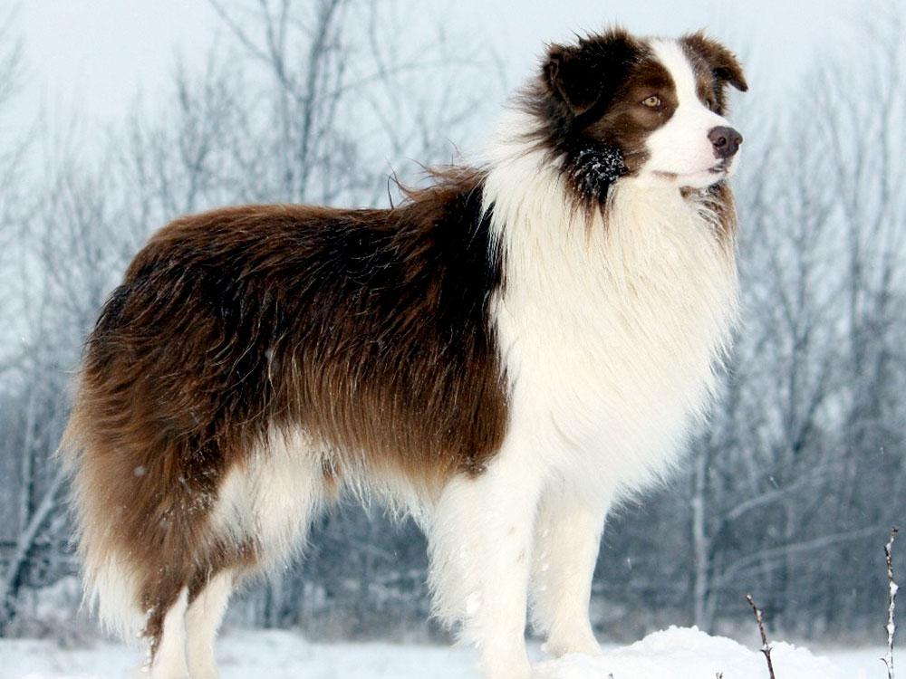 cheapest dog breeds - Border Collie